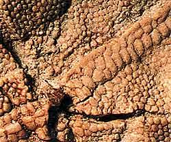 Американский палеонтолог Луис Кьяппе сделал сенсационную находку в Аргентине. Он обнаружил окаменелый кусочек чешуи площадью всего три квадратных сантиметра. Этот клочок принадлежал эмбриону динозавра, жившего 70 миллионов лет назад. На нем можно разглядеть даже позвоночник будущего ящера.