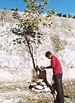 Поливание водой священного дерева пипала – часть комплекса утренних упражнений йоги «Сурья-намаскар»