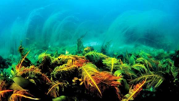 На переднем плане — ламинарии, на заднем — хорда. Баренцево море, глубина 5-6 метров