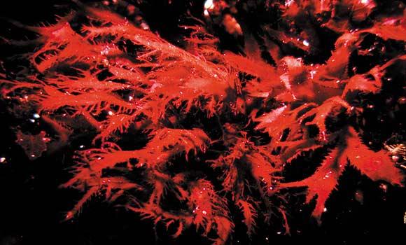 Красная водоросль родимения. Баренцево море