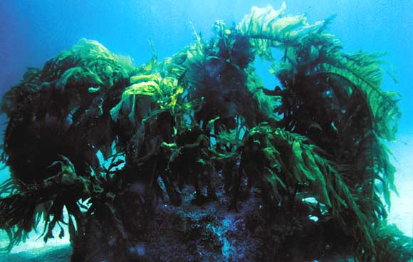 Ламинарии. Баренцево море