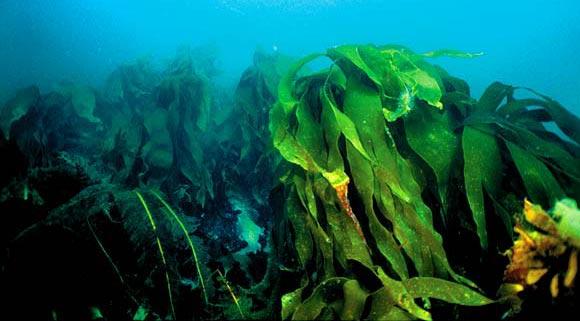 Ламинария, она же морская капуста. Баренцево море