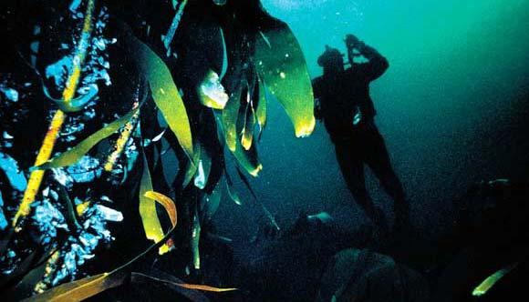 Ламинарии — морская капуста. Норвежское море